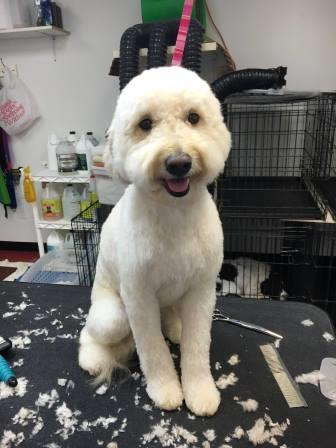 All About Dogs Doodle grooming